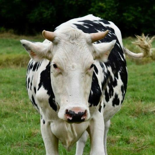 vache gaec doye pour la production des produits laitiers